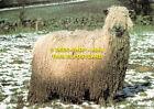 L067675 Wensleydale. British Sheep Breeds. Found in Northern England and Scotlan