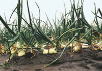 Heirloom WALLA WALLA Onion ❋200 Seeds❋ World's Best Tasting❋Large❋Overwintering