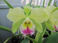 Live Orchid Plant Cattleya Blc Dewey Forest Kudos Fragrant Standard Green Purple