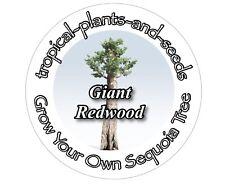 Développez votre propre arborescence plus importante dans le monde Kit-Géant Redwood-SEQUOIA Bonsai
