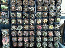 100 seeds Mix Gymnocalycium Cacti Cactus succulant