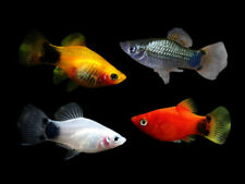 1/5x Assorted Mickey Mouse Platy Live Tropical Fish CHEAP OVERNIGHT SHIPPING