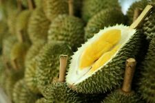 5 Durian Tree Seeds Rare Delicious Tropical King Of Fruit  Giant Plant in Garden