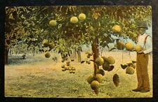 1905 BLACK AMERICANA POSTCARD-GRAPE FRUIT TREE IN FLORIDA