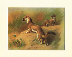 Stoat Or Weasel Summer Coat Mounted Matted Vintage Animal Print A Thorburn TM#21