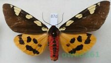 Pericallia matronula (Linnaeus, 1758) male Poland 81mm87d