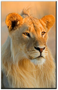 Lioness Photo Canvas Print Wall Art for Home and Office Framed and Ready to Hang