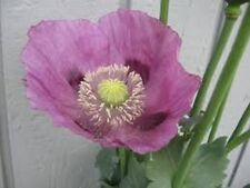 Poppy- Lavender- 100 Seeds