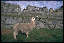 459094 Llama Machu Picchu Peru A4 Photo Print