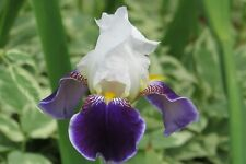 Tall Bearded Iris Rhizomes-Collection of 6 Fresh Perennial Plants