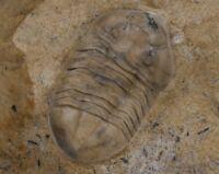 Russian trilobite ASAPHUS LEPIDUS Ordovician fossil VERY RARE