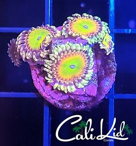 Saturns Rings Zoa Mini Colony-live coral -Cali Kid WYSIWYG Frag