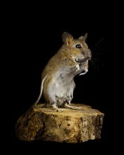 TAXIDERMY MOUSE stuffed taxidermie british