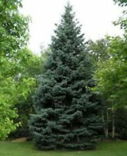 Blue Spruce (Picea pungens Glauca) 300 seeds