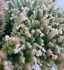 Crassula Tom Thumb in 65MM square pot cacti and succulents