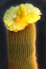 Notocactus Leninghausii (50 SEEDS) Rare Cactus Semi Samen Korn Semi 種子 씨앗 Семена