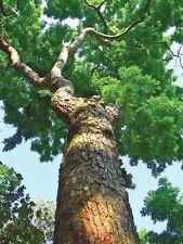 China scented rosewood(Dalbergia odorifera T.Chen) yellow rosewood Tree 25 seeds