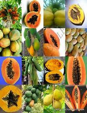 PAPAYA FRUIT MIX exotic tropical carica swe fruits rare tree plant seed 25 SEEDS