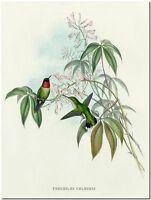 "Vintage Hummingbird Art John Gould CANVAS PRINT~ TROCHILUS COLUBRIS 8""X 10"""