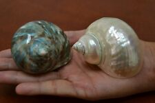 """2 PCS PEARL WHITE AND GREEN JADE TURBO SHELL HERMIT CRAB 2 1/2"""" - 3"""" #7061/64"""