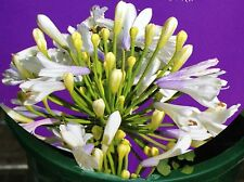 LILIBET Agapanthus orientalis white blue bicolour flowers plant in 125mm pot