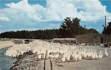 Las Cruces Nm 1959 Geese on the Stahamann Ranch Vintage New Mexico Poultry Gem+
