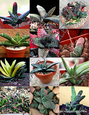 COLOR GASTERIA MIX @@ rare living stones exotic cactus succulents seed 100 seeds