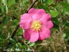 25 Pink Swamp Rose Rosa Palustris Flower Shrub Bush Seeds + Gift & Comb S/H