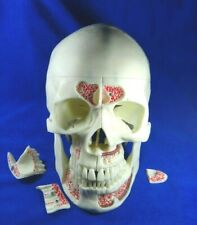 1:1 Size Medical Science Didactic 10 parts Adult Humans Skull Root jaw Model