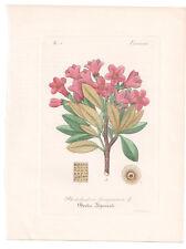 Antique Botanical Print Rhododendron Dietrich-Kirchner-1828