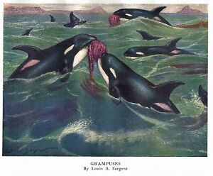 Vintage book plate/print By Louis A. Sargent of Killer Whales (Grampuses)
