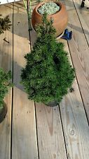 DWARF ALBERTA  SPRUCE 1 GALLON LARGE PLANTS 20-24 INCHES IN CONTAINER  200 trees