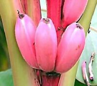Hübsche Zimmerpflanze mit rosa Ess-Bananen:  Rosa Zwerg-Banane - Obstbaum Samen