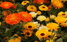 Calendula Seeds - ENFURTER ORANGEFARBIGEN - Medicinal Herb - Edible - 25 Seeds