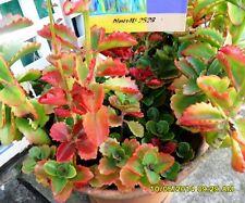 Succulent Kalanchoe Variety x 3 grandiflora, longiflora + fedtschenkoi cuttings