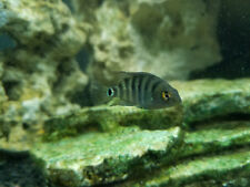 "Mayan Cichlid- Small 1"" to 2"" or Spotted Tilapia, please state how many of each."