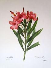 P.J. Redoute # 71 Laurier Rose vintage print