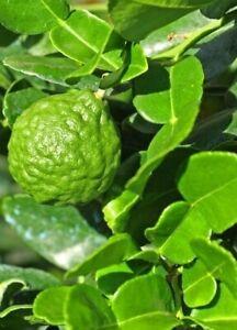 20Fresh Seeds  Kaffir Lime Seeds Citrus hystrix Seeds Citrus Seeds Organic Seeds
