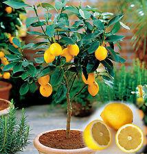Mini limonero semillas - 10 unid./Pack-Limón-Citrus-bonsai adecuado