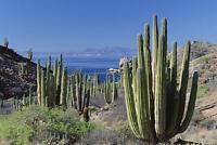 Pachycereus Pringlei (5-250 SEEDS) WORLDS BIGGEST Cactus Samen Semi Korn 種子 씨앗