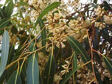 Dwarf Sugar Gum (Eucalyptus cladocalyx nana)  50 Seeds