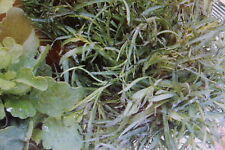 5 Samen Pipicha,Porophyllum tagetoides#488