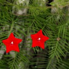 Flower - Morning Glory Ipomoea Quamoclit Red - appx 100 seeds - Cypress Vine