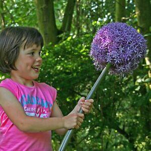 3 x Allium Globemaster Giant Bulbs - FREE P&P