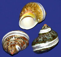 """Tapestry Turbo Turban Polished Banded Shell~1-1/2""""-2""""~Craft Seashell Select 3/6"""