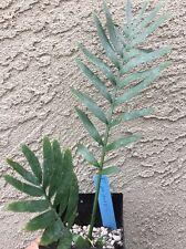 Encephalartos Princeps ULTRA RARE CYCAD Cold Hardy ICE BLUE CYCADS NURSERY