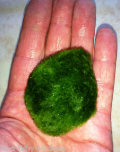 3x Moss Balls Marimo Tropical or Cold Live Plant Nano Shrimp 3 to 4cm UK