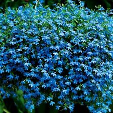 Blue Ground Cover Seed, Blue Lobelia Seed, Flowering Ground Cover, Heirloom 75ct