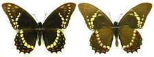 MOUNTED SPREAD BUTTERFLY - Papilio menatius cleotas, male, Argentina