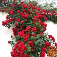 100 Pcs Climbing Rose Outdoor Potted Bonsai Plants Rose seeds Rosa Perennial Flo
